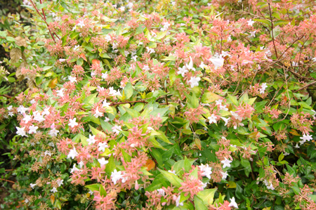 Abelia x grandiflora &#8216;Gold Spot&#8217;